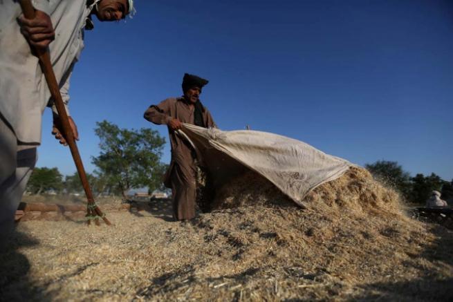 Pakistan'da buğday hasadı 2
