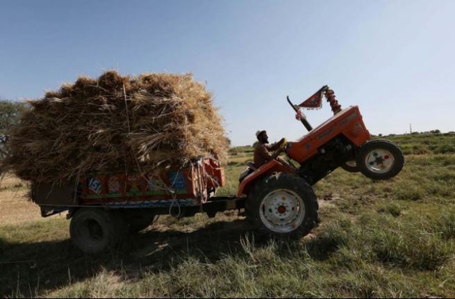 Pakistan'da buğday hasadı 3