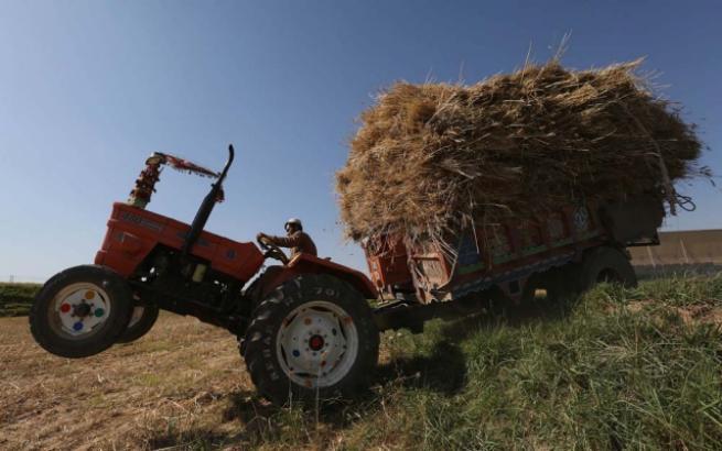 Pakistan'da buğday hasadı 4