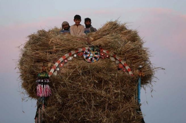 Pakistan'da buğday hasadı 5