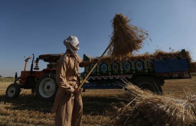 Pakistan'da buğday hasadı 7