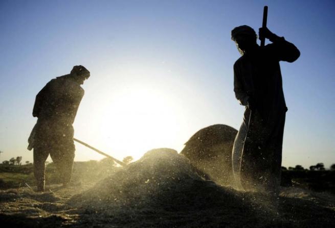 Pakistan'da buğday hasadı 8