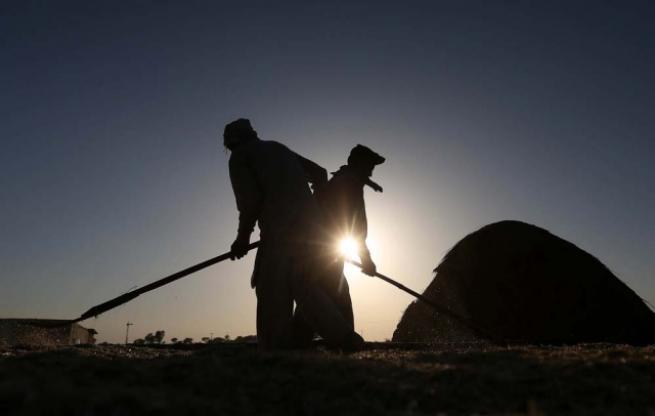Pakistan'da buğday hasadı 9