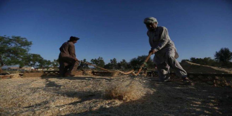 Pakistan'da buğday hasadı