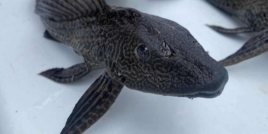 Suların kalitesini yok eden istilacı balıklar Eskişehir'de görüldü
