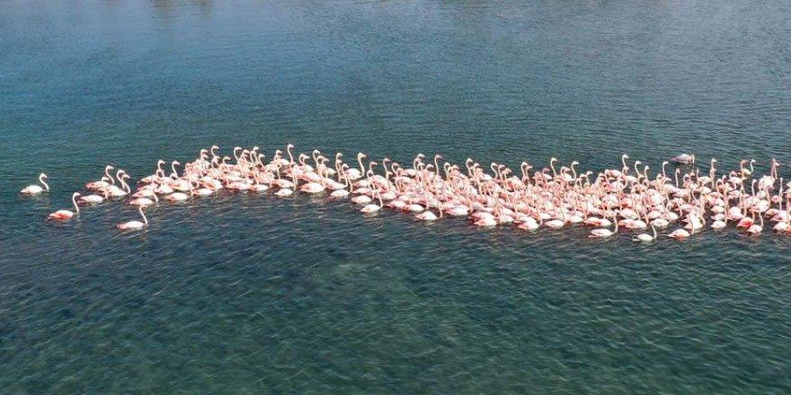 İzmir'de flamingolar körfezi şenlendiriyor