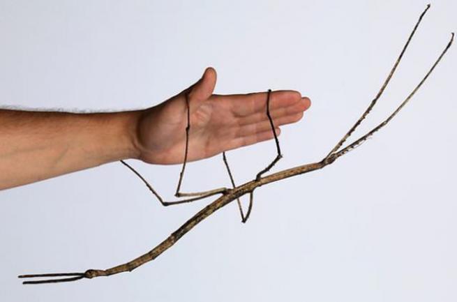 Böceğin boyu görenleri hayrete düşürüyor 2