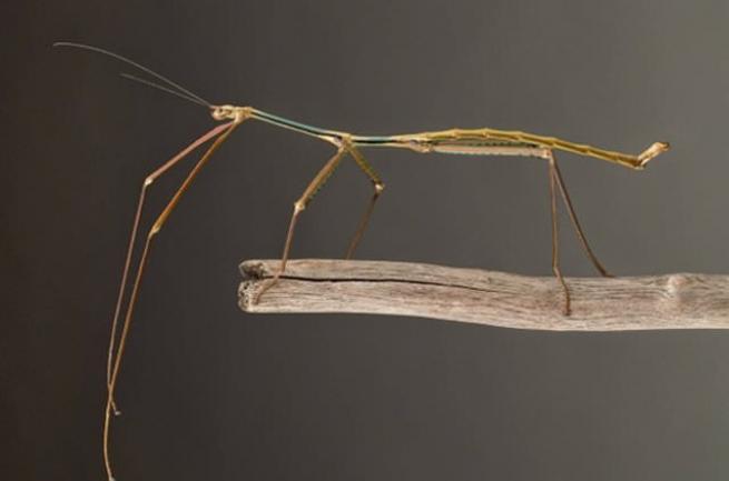 Böceğin boyu görenleri hayrete düşürüyor 3