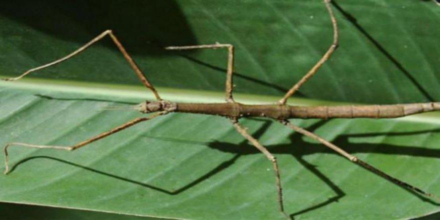 Böceğin boyu görenleri hayrete düşürüyor