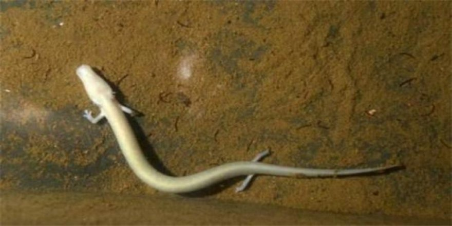 100 yıl yaşayan bebek ejderhalar yumurtadan çıktı!