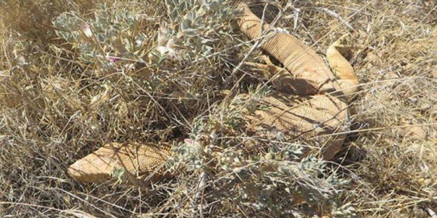 Nesli tehlike altında olan 'çöl varanı' Şanlıurfa'da görü