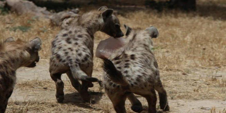 Aşırı sıcaklar hayvanları da etkiledi