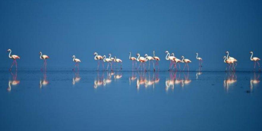 Tuz Gölü'nde flamingo kreşi