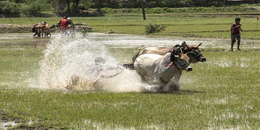 Hindistan'da büyükbaş hayvan yarışları