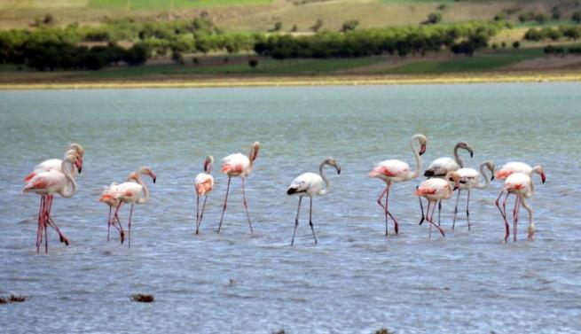 Burdur'da 5 bin flamingo 3