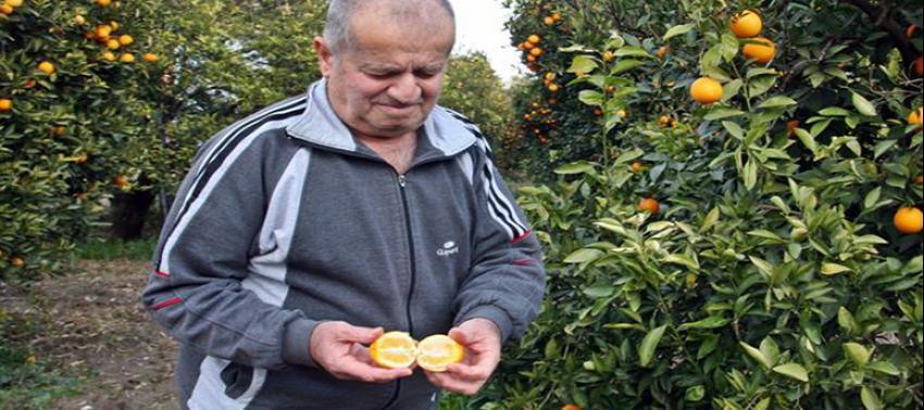 Portakalı don vurdu