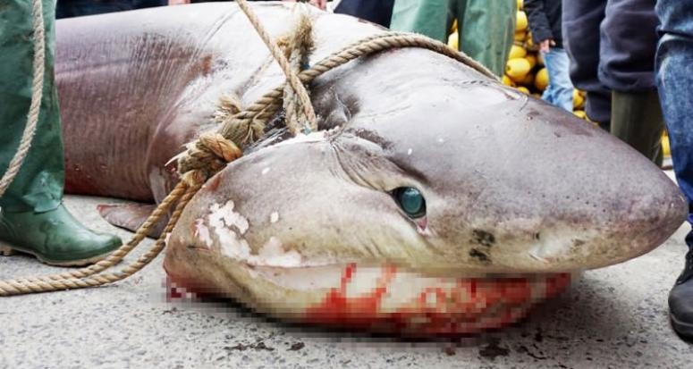 Marmara Denizin'de devasa köpek balığı yakalandı