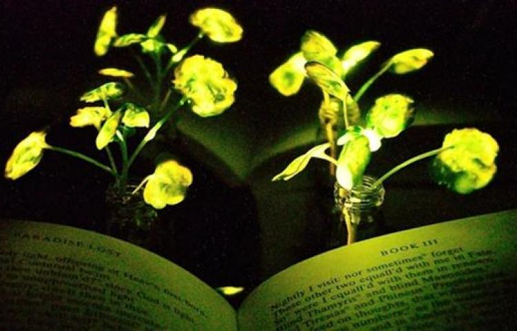 Işık saçan bitki üretildi
