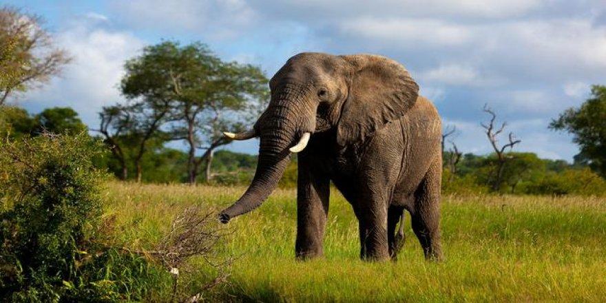 Filler kansere karşı tuhaf şekilde dayanıklı! Elde edilen genetik ipuçları, insanlara da yardımcı olabilir...
