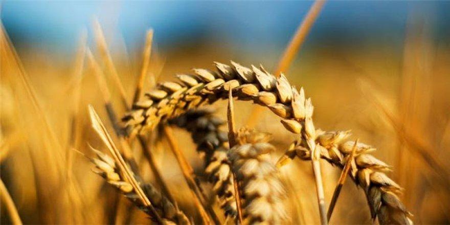 Anadolu'nun en değerli buğdayı koruma altına alındı