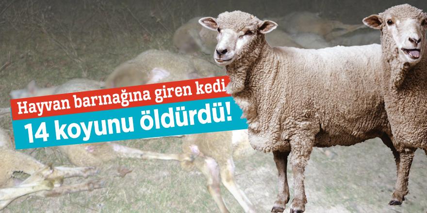 Hayvan barınağına giren kedi, 14 koyunu öldürdü!