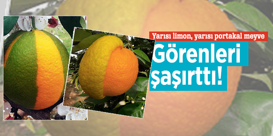 Yarısı limon, yarısı portakal meyve görenleri şaşırttı