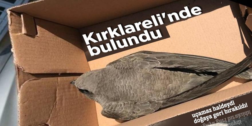 Kırklareli'nde ebabil kuşu bulundu