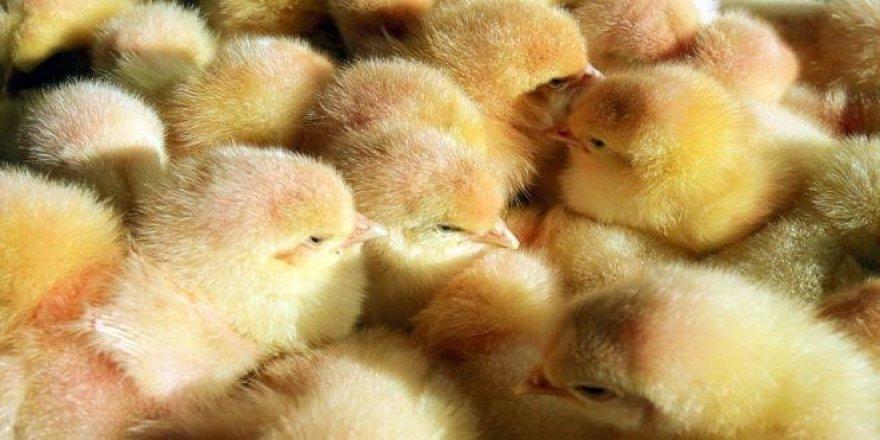 20 bin civciv gazla öldürüldü
