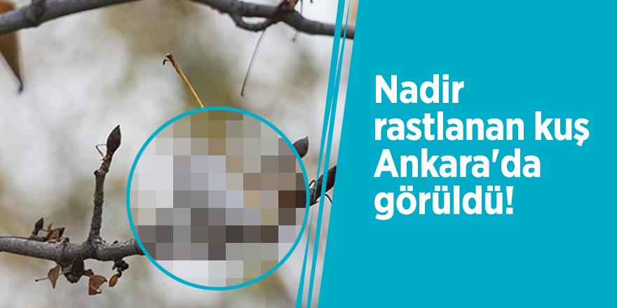 Nadir rastlanan kuş Ankara'da görüldü!