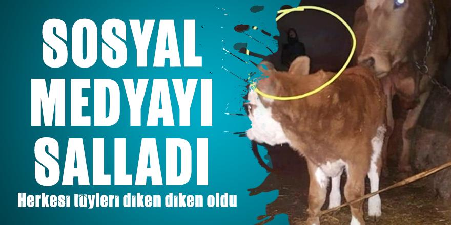 Hayvan ahırındaki fotoğraf sosyal medyayı salladı: Herkesi tüyleri diken diken oldu