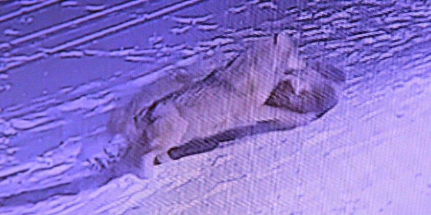 Erzurum'da aç kalan kurtlar köpeği parçaladı!