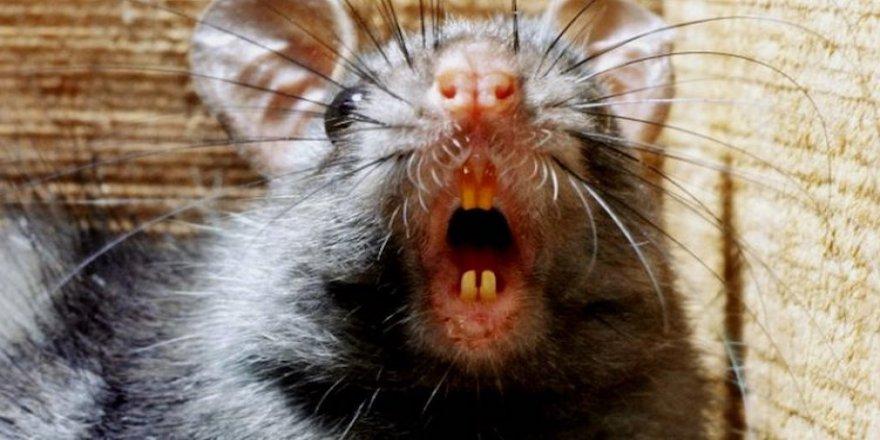 İsrail'de fare vebası yayılıyor