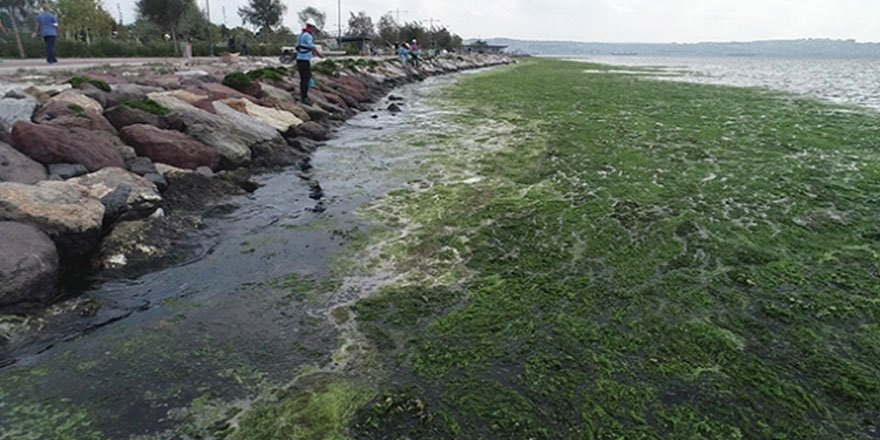 Karşıyaka sahili 'deniz marulu' yosunlarla kaplandı