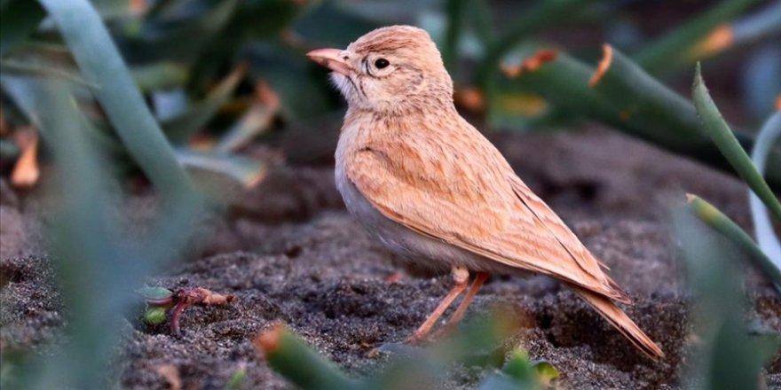 Arabistan toygarı türü kuş, Türkiye'de ilk kez gözlemlendi