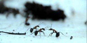 Karıncalar yönünü nasıl buluyor?