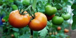 Halde 2,5 lira olan domates 10 liraya satılıyor
