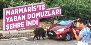 Marmaris'te yaban domuzları şehre indi