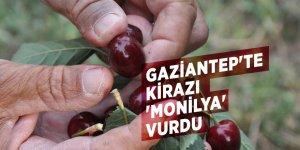Gaziantep'te kirazı 'Monilya' vurdu