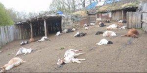 Akıllara durgunluk veren olay: 239 keçiyi tek tek kesti!