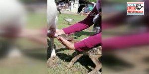 Karaca yavrusu sütünü emdiği keçiyi annesi olarak kabullendi
